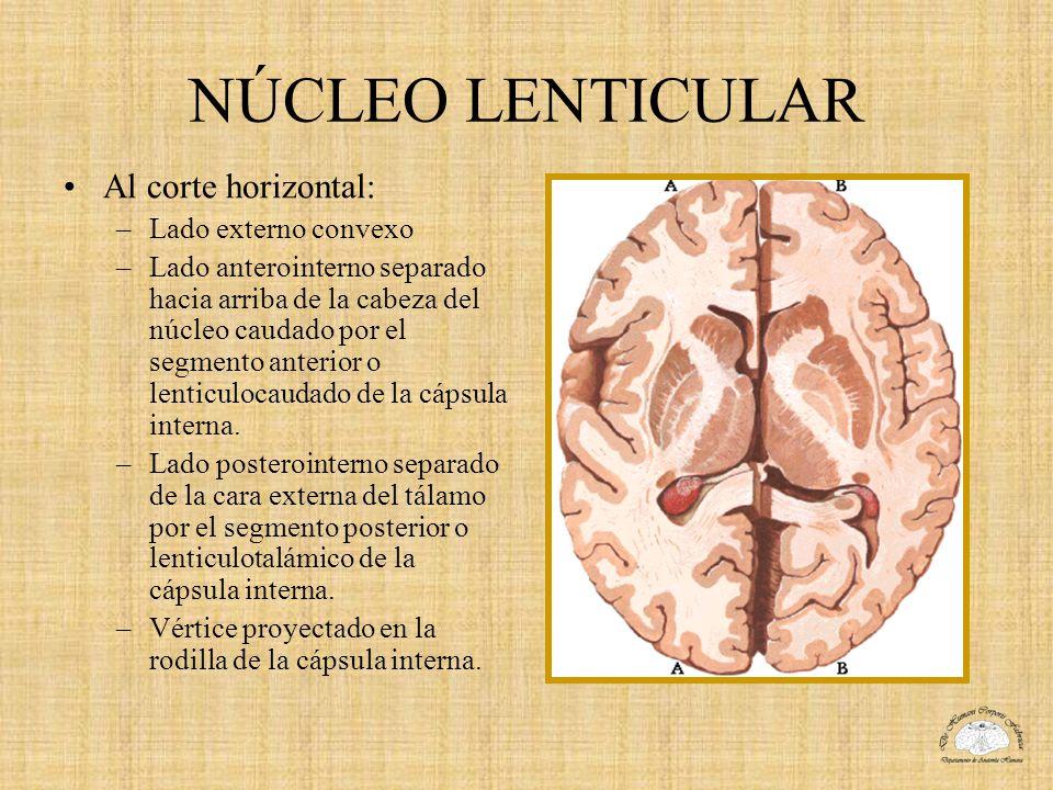 NÚCLEO LENTICULAR Al corte horizontal: –Lado externo convexo –Lado anterointerno separado hacia arriba de la cabeza del núcleo caudado por el segmento