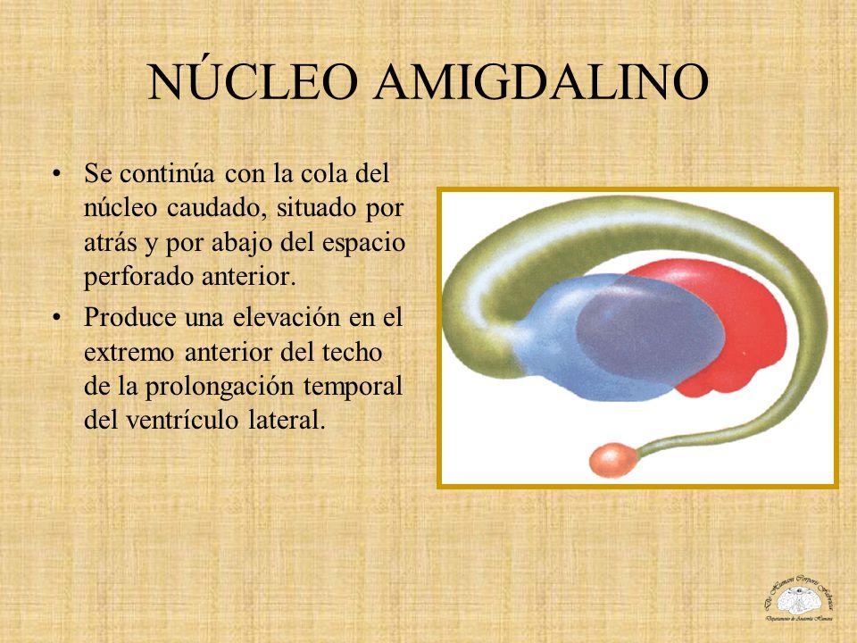 NÚCLEO AMIGDALINO Se continúa con la cola del núcleo caudado, situado por atrás y por abajo del espacio perforado anterior. Produce una elevación en e