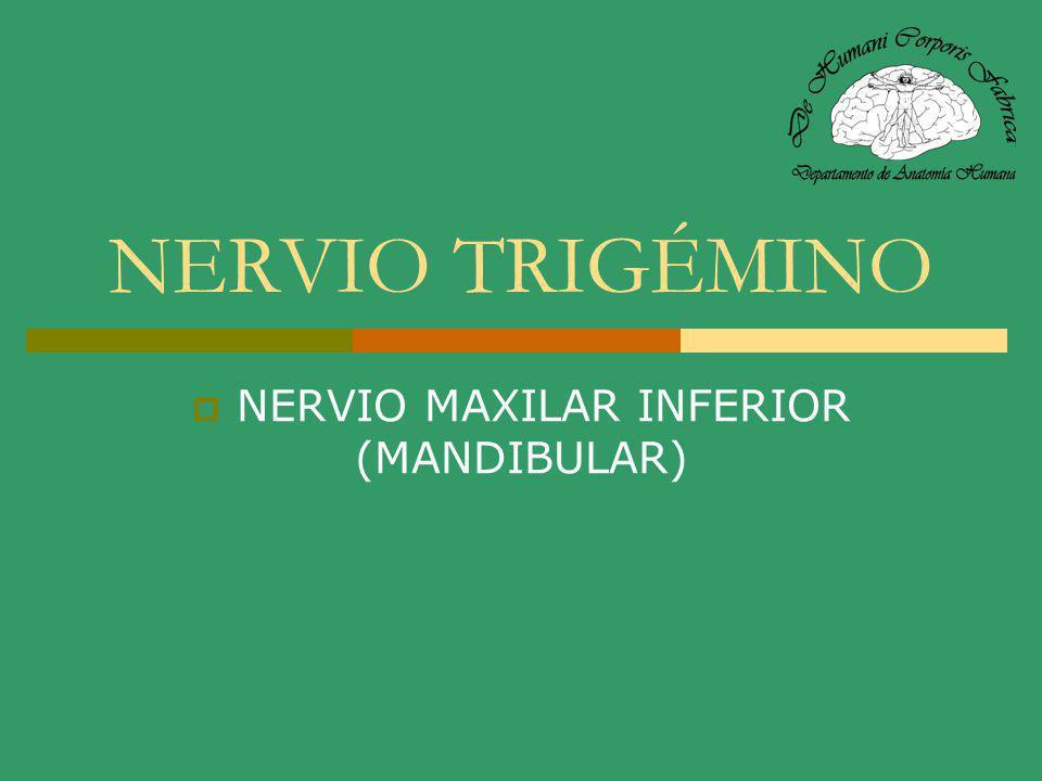 NERVIO LINGUAL (V 3 ) Cruza al hiogloso por fuera del conducto de Wharton, conduce fibras del ganglio a la glándula sublingual y emite un ramo anastomótico para el XII par.