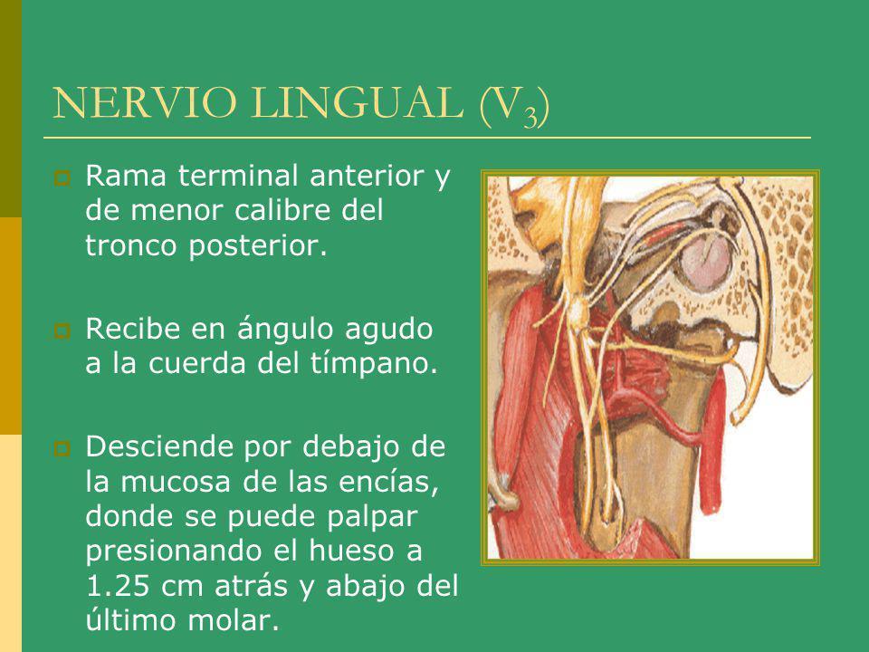 NERVIO LINGUAL (V 3 ) Rama terminal anterior y de menor calibre del tronco posterior. Recibe en ángulo agudo a la cuerda del tímpano. Desciende por de