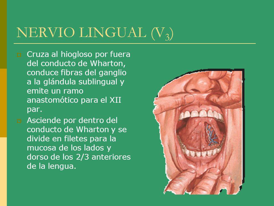 NERVIO LINGUAL (V 3 ) Cruza al hiogloso por fuera del conducto de Wharton, conduce fibras del ganglio a la glándula sublingual y emite un ramo anastom