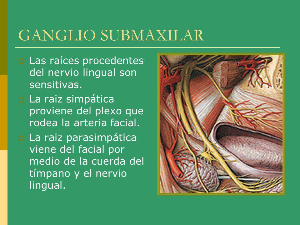 GANGLIO SUBMAXILAR Las raíces procedentes del nervio lingual son sensitivas. La raiz simpática proviene del plexo que rodea la arteria facial. La raiz