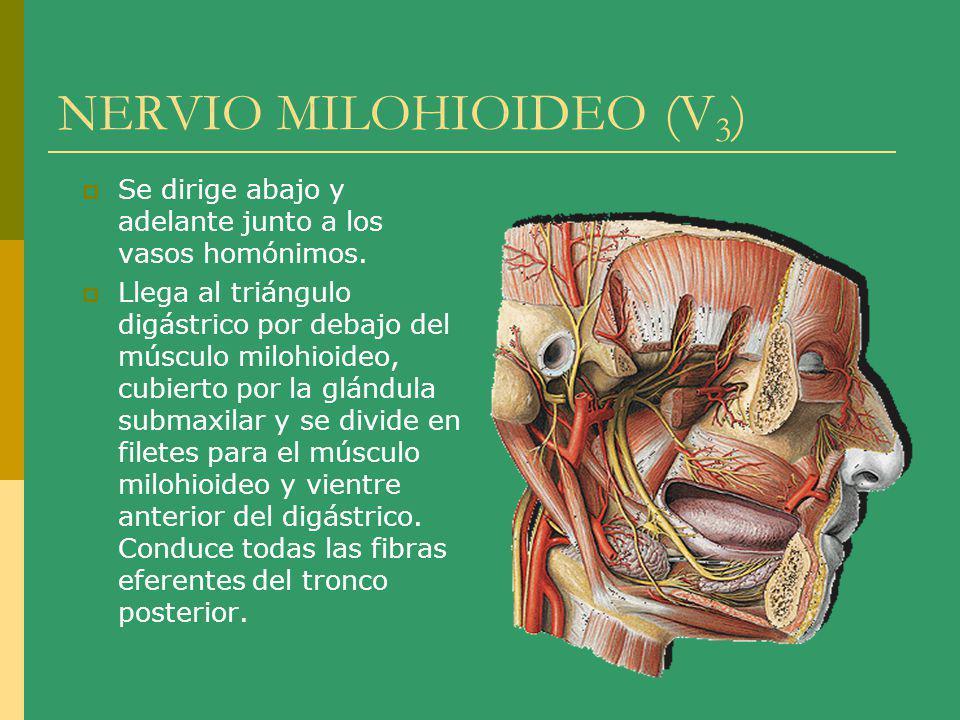 NERVIO MILOHIOIDEO (V 3 ) Se dirige abajo y adelante junto a los vasos homónimos. Llega al triángulo digástrico por debajo del músculo milohioideo, cu