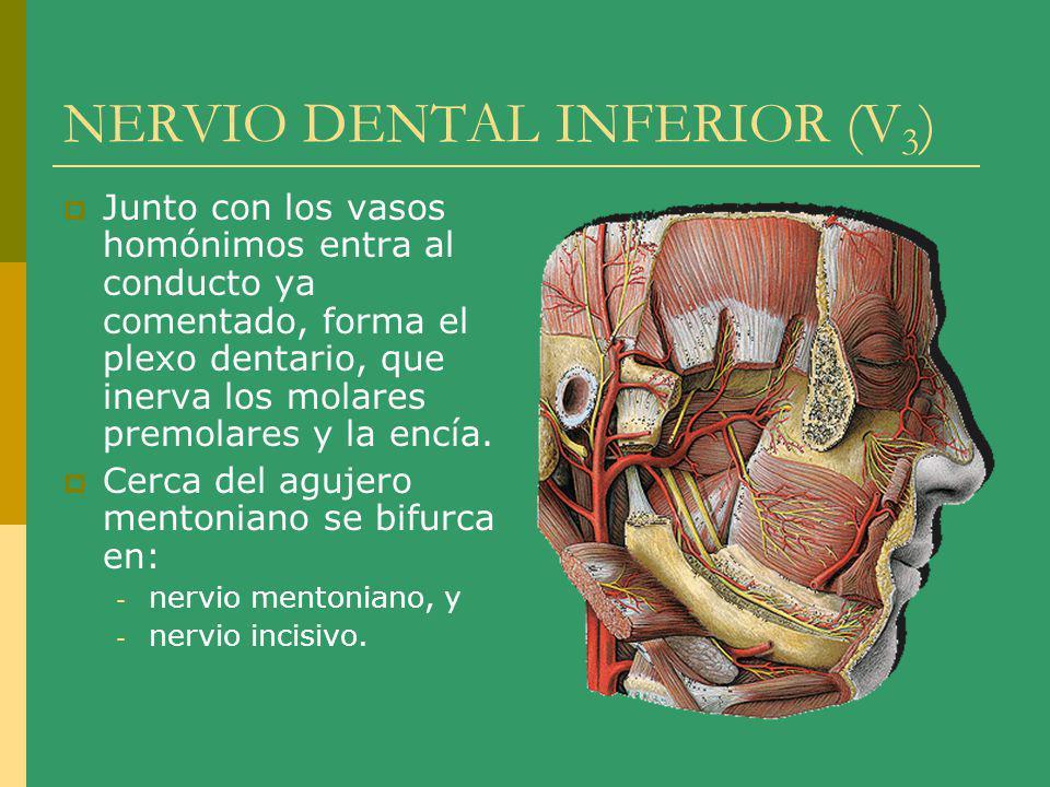 NERVIO DENTAL INFERIOR (V 3 ) Junto con los vasos homónimos entra al conducto ya comentado, forma el plexo dentario, que inerva los molares premolares