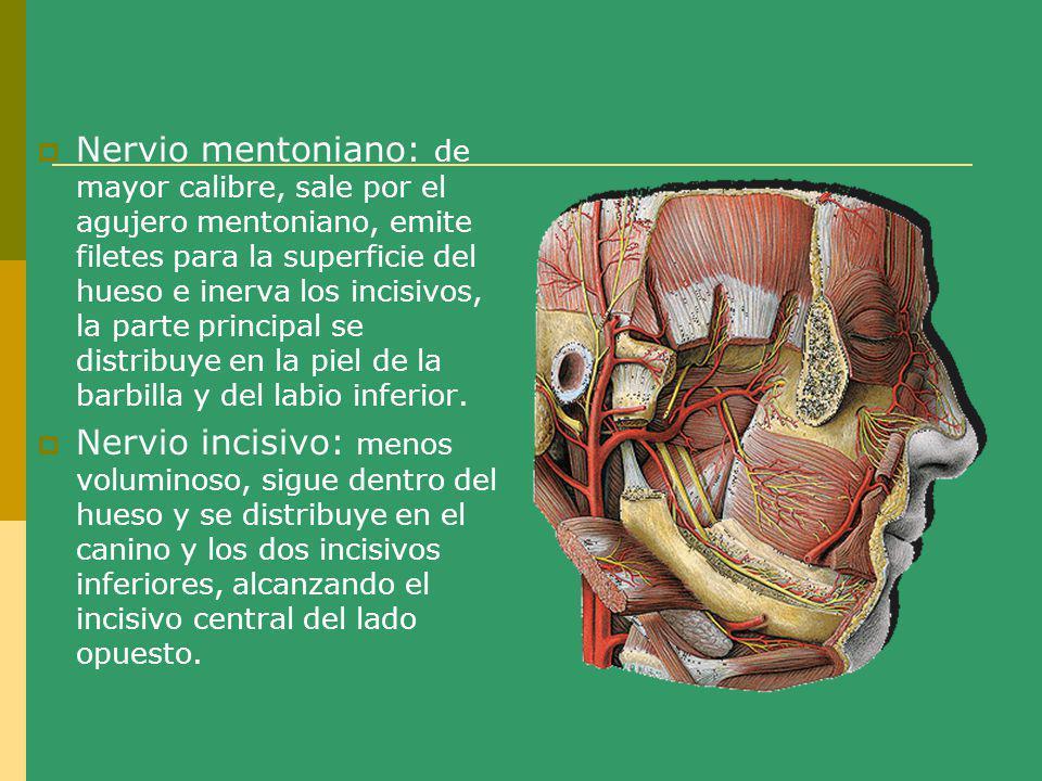 Nervio mentoniano: de mayor calibre, sale por el agujero mentoniano, emite filetes para la superficie del hueso e inerva los incisivos, la parte princ