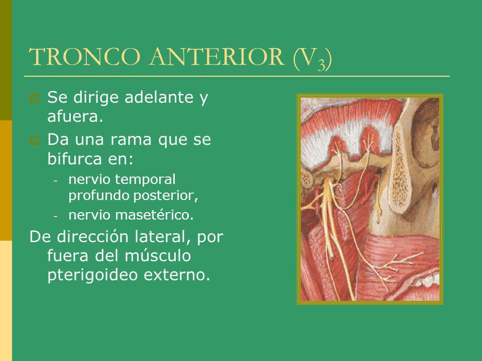 TRONCO ANTERIOR (V 3 ) Se dirige adelante y afuera. Da una rama que se bifurca en: - nervio temporal profundo posterior, - nervio masetérico. De direc