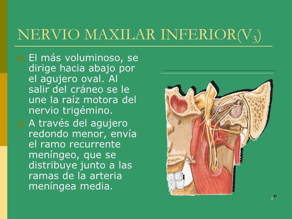 NERVIO MAXILAR INFERIOR (V 3 ) Territorio sensitivo: piel de la mandíbula, parte lateral de la cabeza y parte de la oreja, mucosa del carrillo, suelo de la boca, 2/3 anteriores de la lengua, encías y dientes inferiores y articulación temporomaxilar.