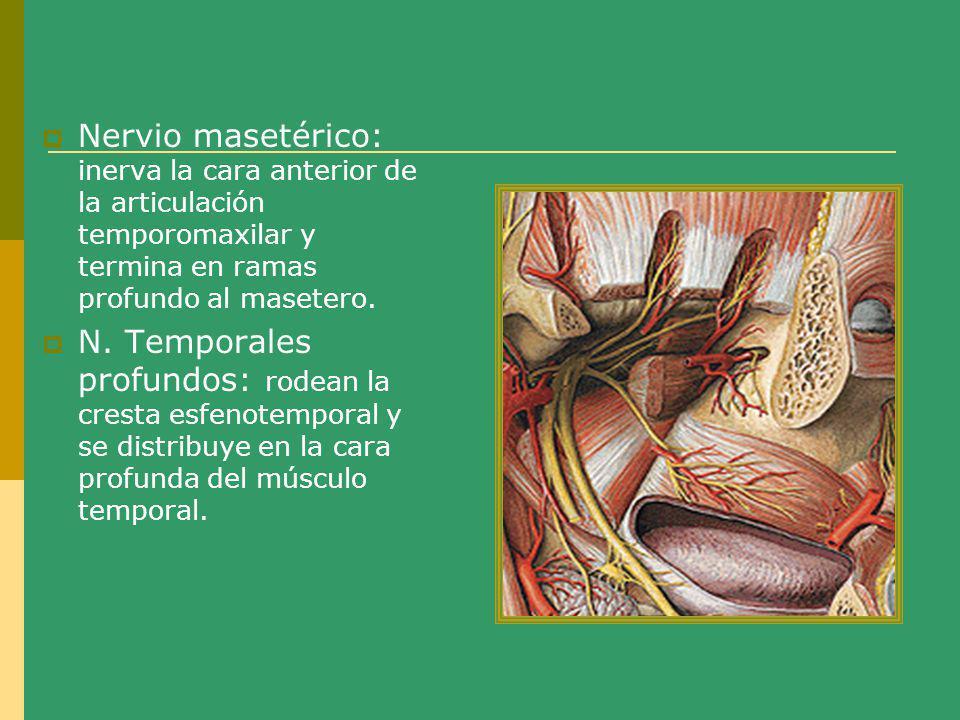Nervio masetérico: inerva la cara anterior de la articulación temporomaxilar y termina en ramas profundo al masetero. N. Temporales profundos: rodean