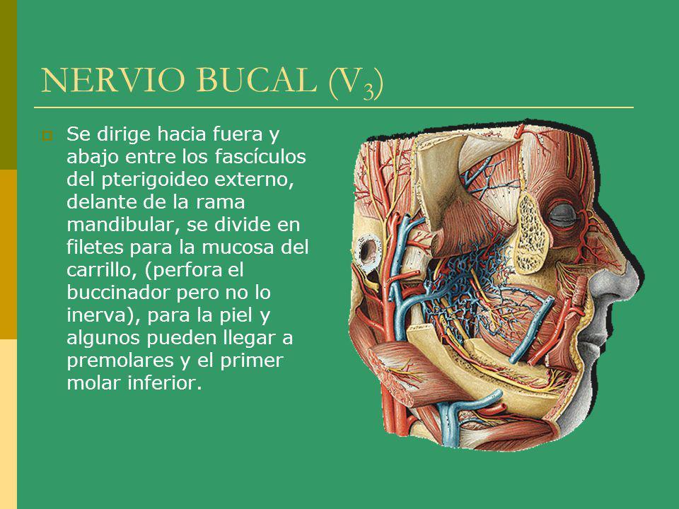 NERVIO BUCAL (V 3 ) Se dirige hacia fuera y abajo entre los fascículos del pterigoideo externo, delante de la rama mandibular, se divide en filetes pa