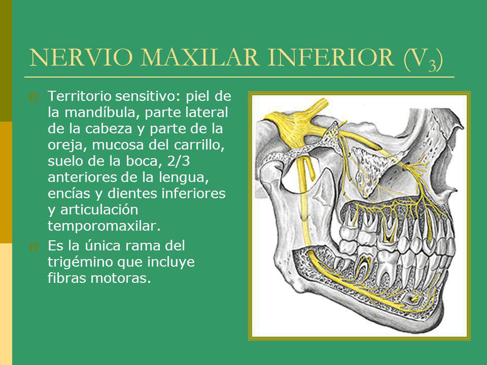 NERVIO MAXILAR INFERIOR (V 3 ) Territorio sensitivo: piel de la mandíbula, parte lateral de la cabeza y parte de la oreja, mucosa del carrillo, suelo