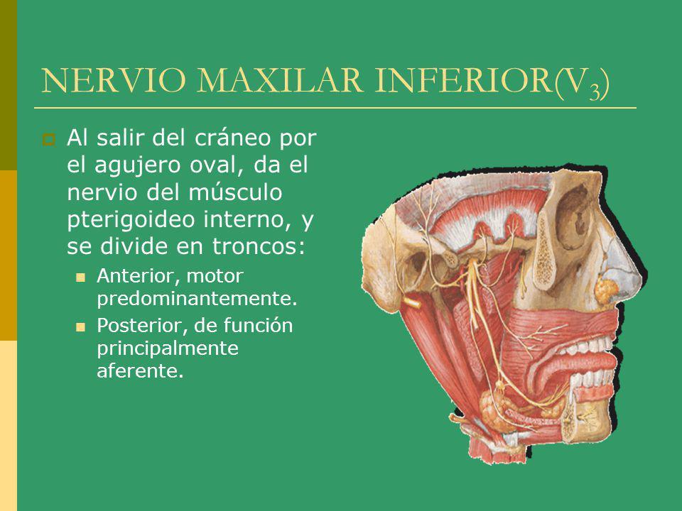 NERVIO MAXILAR INFERIOR(V 3 ) Al salir del cráneo por el agujero oval, da el nervio del músculo pterigoideo interno, y se divide en troncos: Anterior,