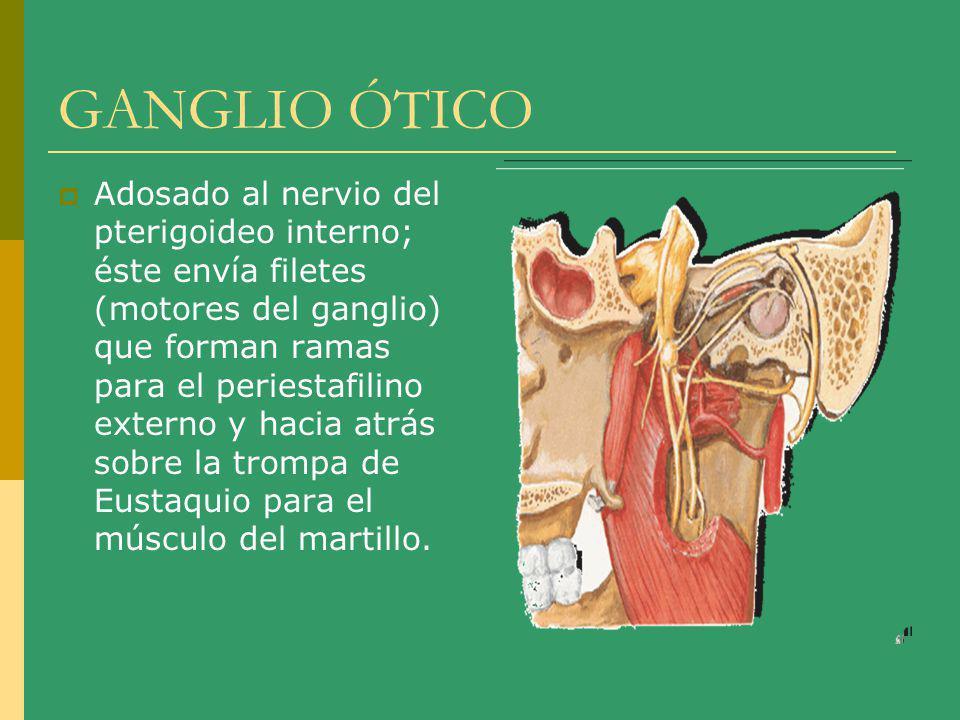 GANGLIO ÓTICO Adosado al nervio del pterigoideo interno; éste envía filetes (motores del ganglio) que forman ramas para el periestafilino externo y ha