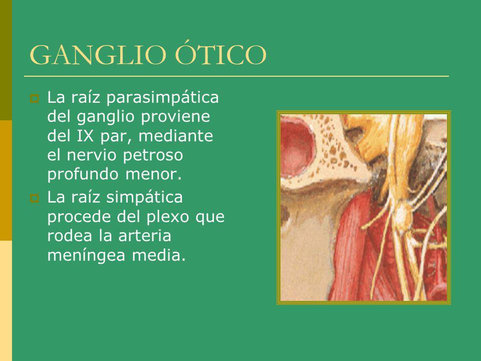 GANGLIO ÓTICO La raíz parasimpática del ganglio proviene del IX par, mediante el nervio petroso profundo menor. La raíz simpática procede del plexo qu