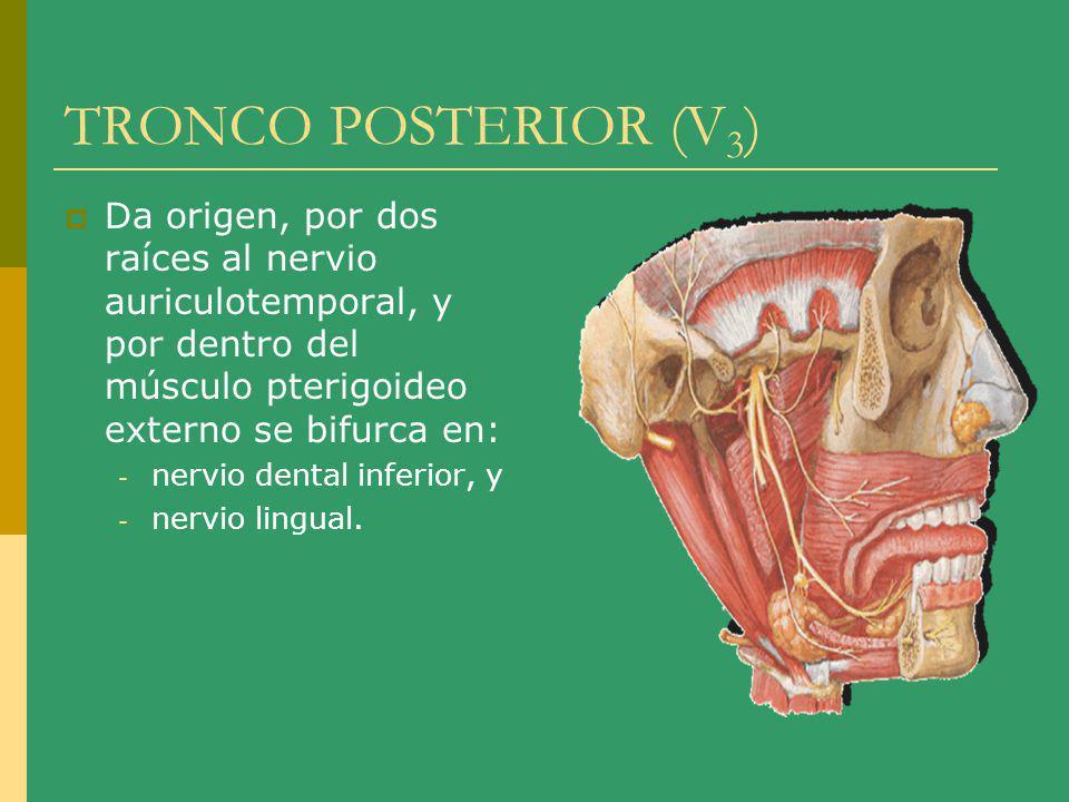 TRONCO POSTERIOR (V 3 ) Da origen, por dos raíces al nervio auriculotemporal, y por dentro del músculo pterigoideo externo se bifurca en: - nervio den
