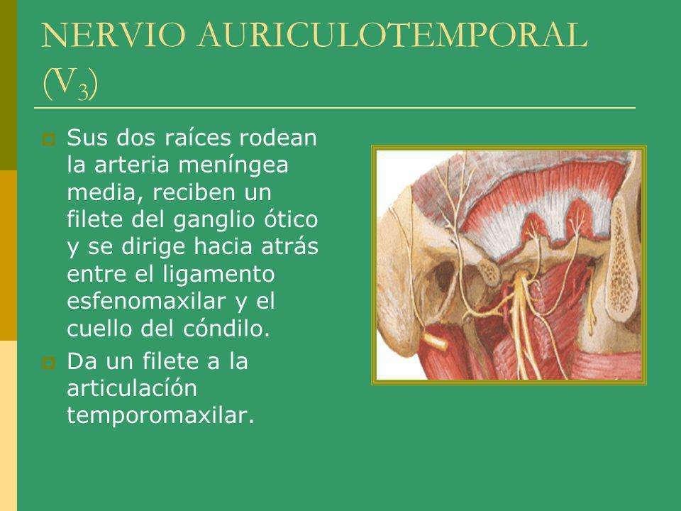 NERVIO AURICULOTEMPOAL (V 3 ) Atraviesa e inerva la parótida, emite un filete para la membrana timpánica y la pared anterior del conducto auditivo externo.
