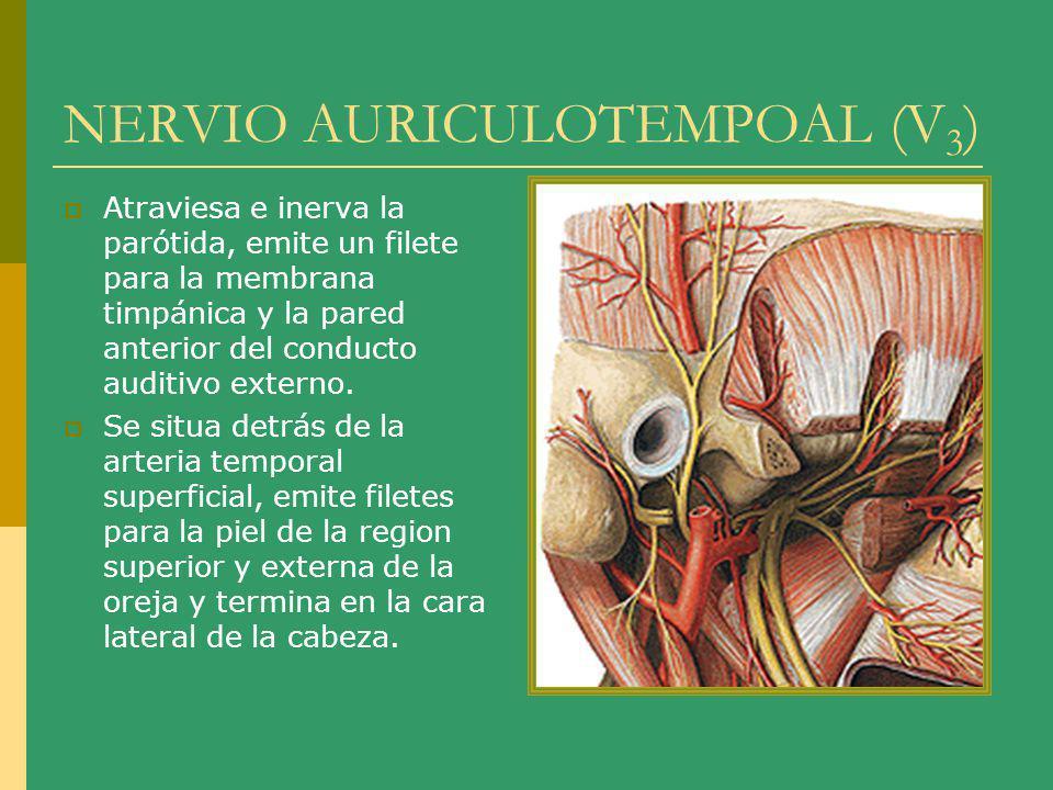 NERVIO AURICULOTEMPOAL (V 3 ) Atraviesa e inerva la parótida, emite un filete para la membrana timpánica y la pared anterior del conducto auditivo ext