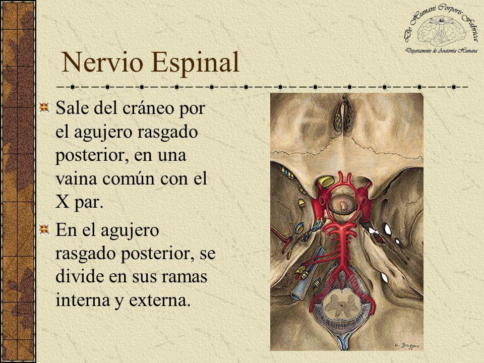 Nervio Espinal Sale del cráneo por el agujero rasgado posterior, en una vaina común con el X par. En el agujero rasgado posterior, se divide en sus ra