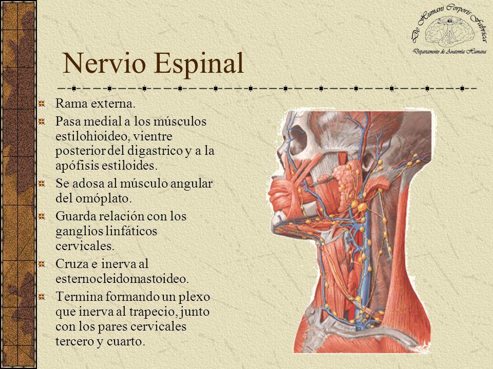 Nervio Espinal Rama externa. Pasa medial a los músculos estilohioideo, vientre posterior del digastrico y a la apófisis estiloides. Se adosa al múscul
