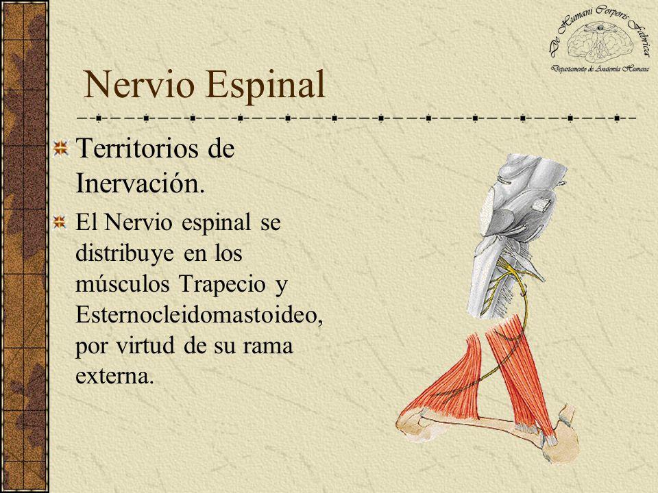 Territorios de Inervación. El Nervio espinal se distribuye en los músculos Trapecio y Esternocleidomastoideo, por virtud de su rama externa.