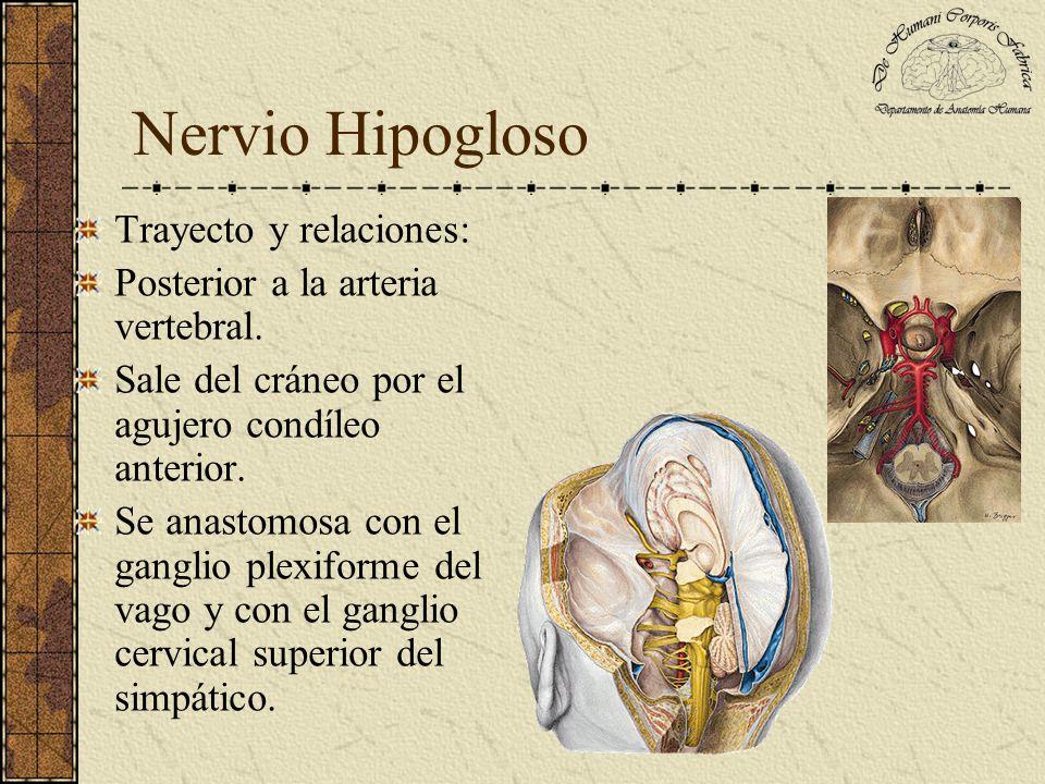 Nervio Hipogloso Trayecto y relaciones: Posterior a la arteria vertebral. Sale del cráneo por el agujero condíleo anterior. Se anastomosa con el gangl