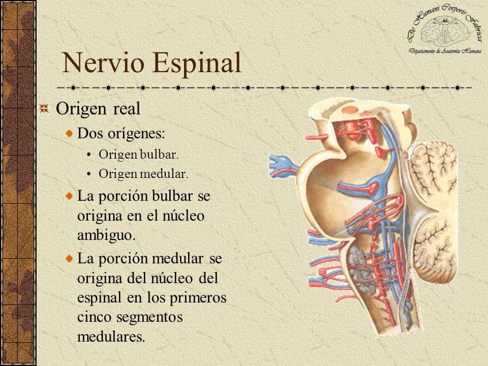 Nervio Espinal Origen real Dos orígenes: Origen bulbar. Origen medular. La porción bulbar se origina en el núcleo ambiguo. La porción medular se origi