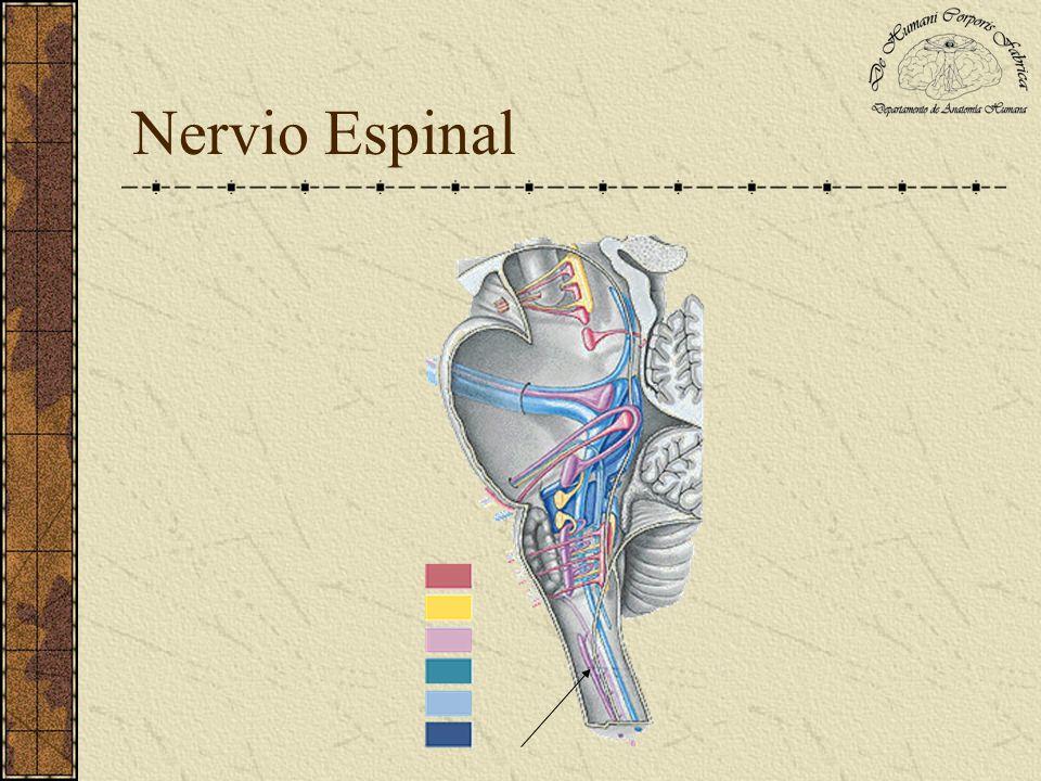 Nervio Hipogloso Da origen a la rama descendente interna del asa del hipogloso en el triangulo carotídeo superior.