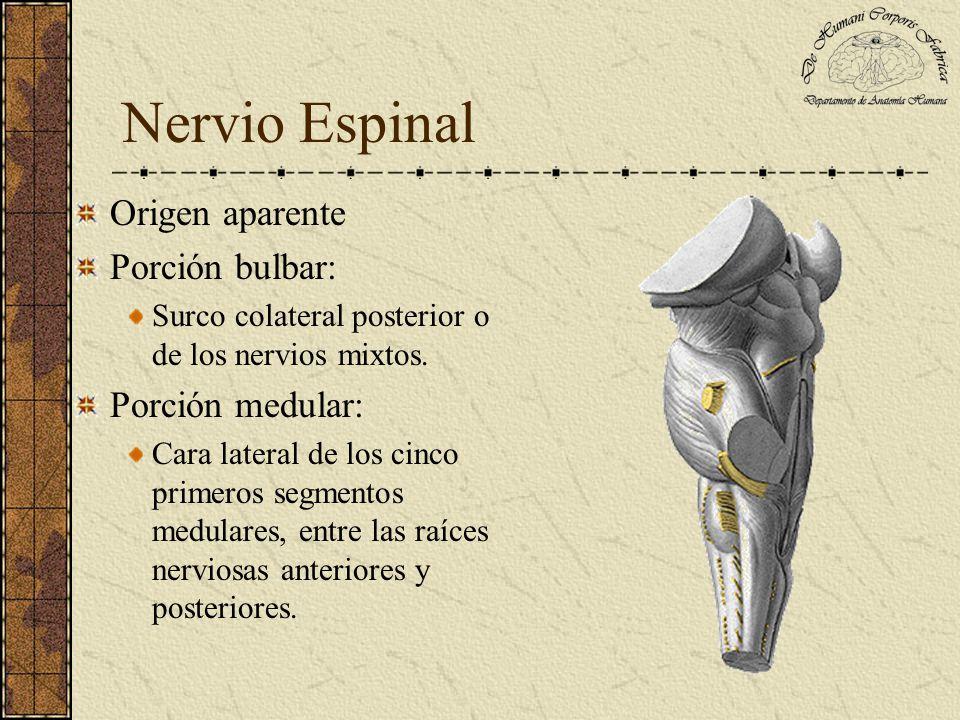 Origen aparente Porción bulbar: Surco colateral posterior o de los nervios mixtos. Porción medular: Cara lateral de los cinco primeros segmentos medul