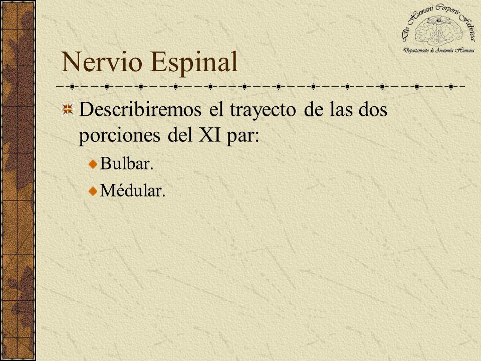 Nervio Espinal Trayecto de la porción medular: Comienza en los primeros cinco segmentos medulares.