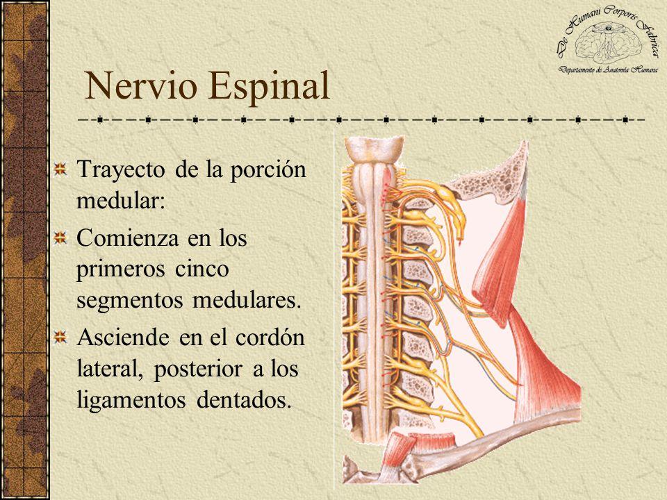 Nervio Espinal Trayecto medular: Entra al cráneo por el agujero occipital y se une a la porción bulbar.