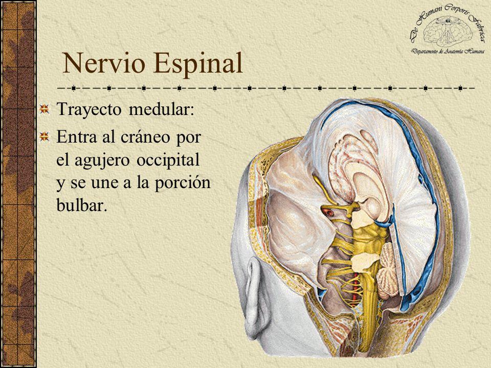 Nervio Espinal Trayecto de la porción bulbar: Se origina del surco colateral posterior del bulbo raquídeo.