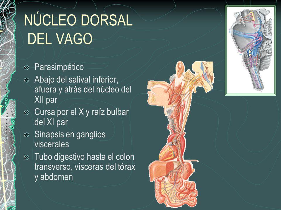 NÚCLEO DORSAL DEL VAGO Parasimpático Abajo del salival inferior, afuera y atrás del núcleo del XII par Cursa por el X y raíz bulbar del XI par Sinapsis en ganglios viscerales Tubo digestivo hasta el colon transverso, vísceras del tórax y abdomen