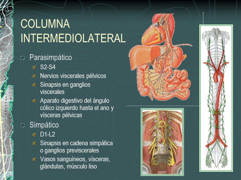 COLUMNA INTERMEDIOLATERAL Parasimpático S2-S4 Nervios viscerales pélvicos Sinapsis en ganglios viscerales Aparato digestivo del ángulo cólico izquierdo hasta el ano y vísceras pélvicas Simpático D1-L2 Sinapsis en cadena simpática o ganglios previscerales Vasos sanguíneos, vísceras, glándulas, músculo liso