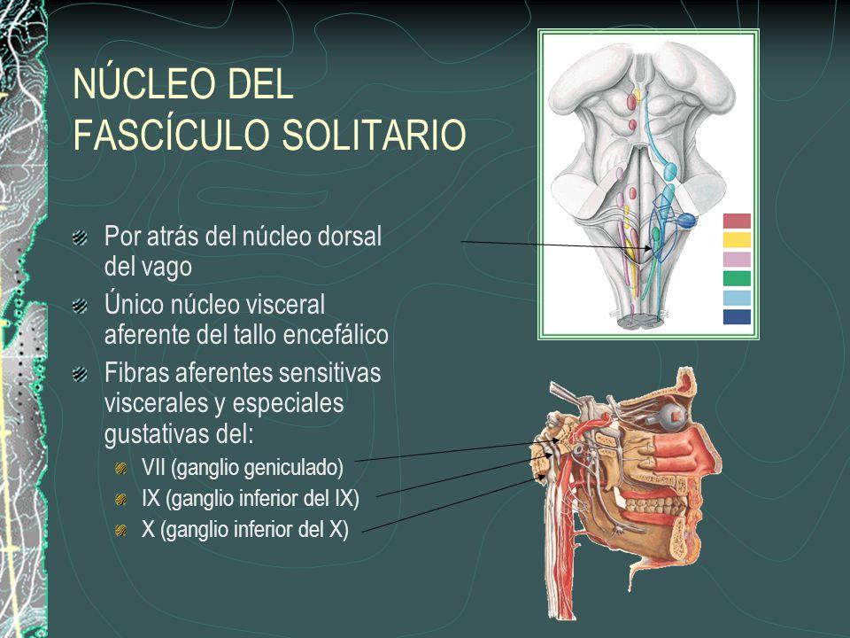 NÚCLEO DEL FASCÍCULO SOLITARIO Por atrás del núcleo dorsal del vago Único núcleo visceral aferente del tallo encefálico Fibras aferentes sensitivas viscerales y especiales gustativas del: VII (ganglio geniculado) IX (ganglio inferior del IX) X (ganglio inferior del X)