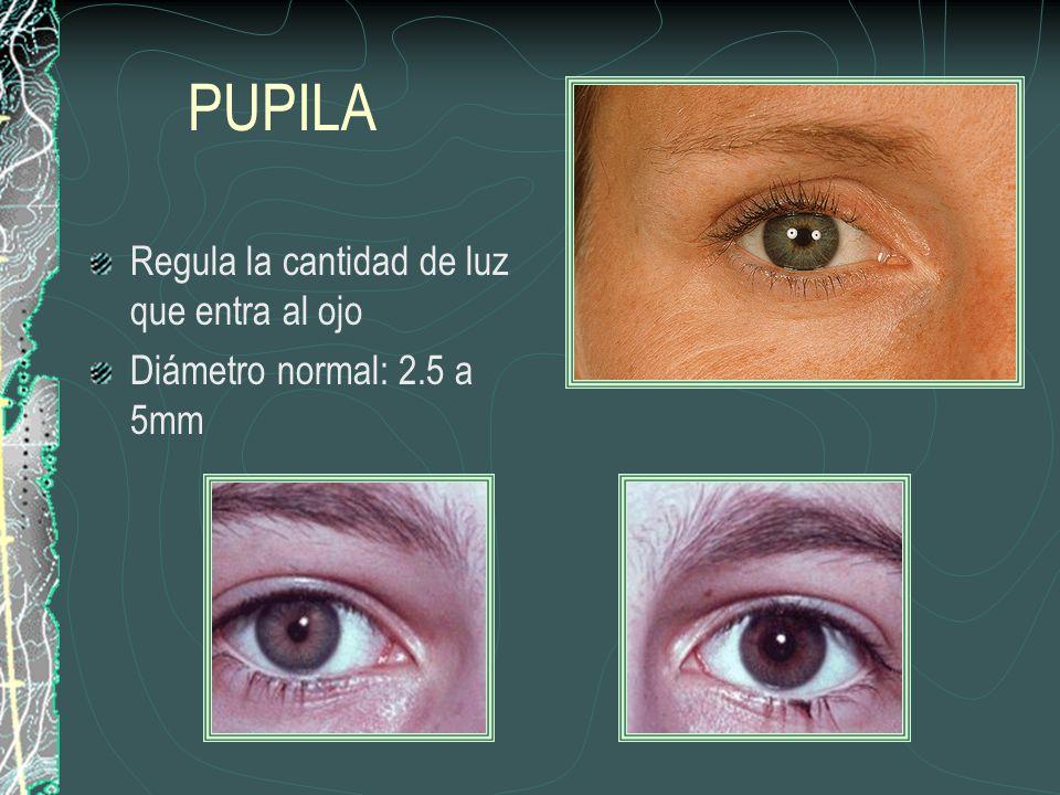 PUPILA Regula la cantidad de luz que entra al ojo Diámetro normal: 2.5 a 5mm