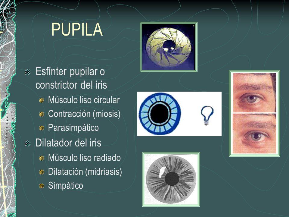 PUPILA Esfínter pupilar o constrictor del iris Músculo liso circular Contracción (miosis) Parasimpático Dilatador del iris Músculo liso radiado Dilatación (midriasis) Simpático