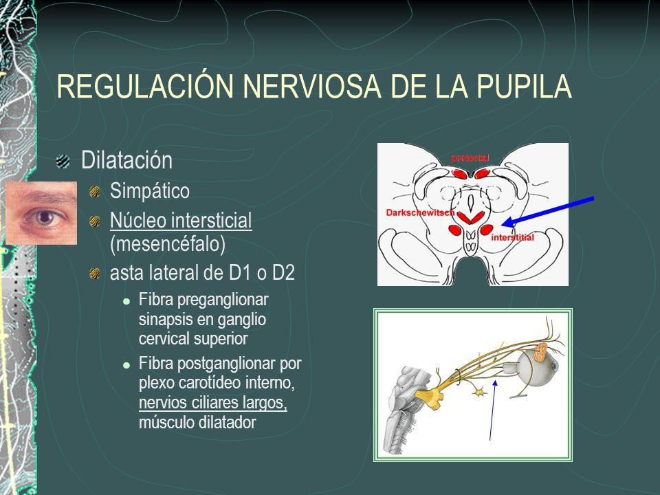 REGULACIÓN NERVIOSA DE LA PUPILA Dilatación Simpático Núcleo intersticial (mesencéfalo) asta lateral de D1 o D2 Fibra preganglionar sinapsis en gangli
