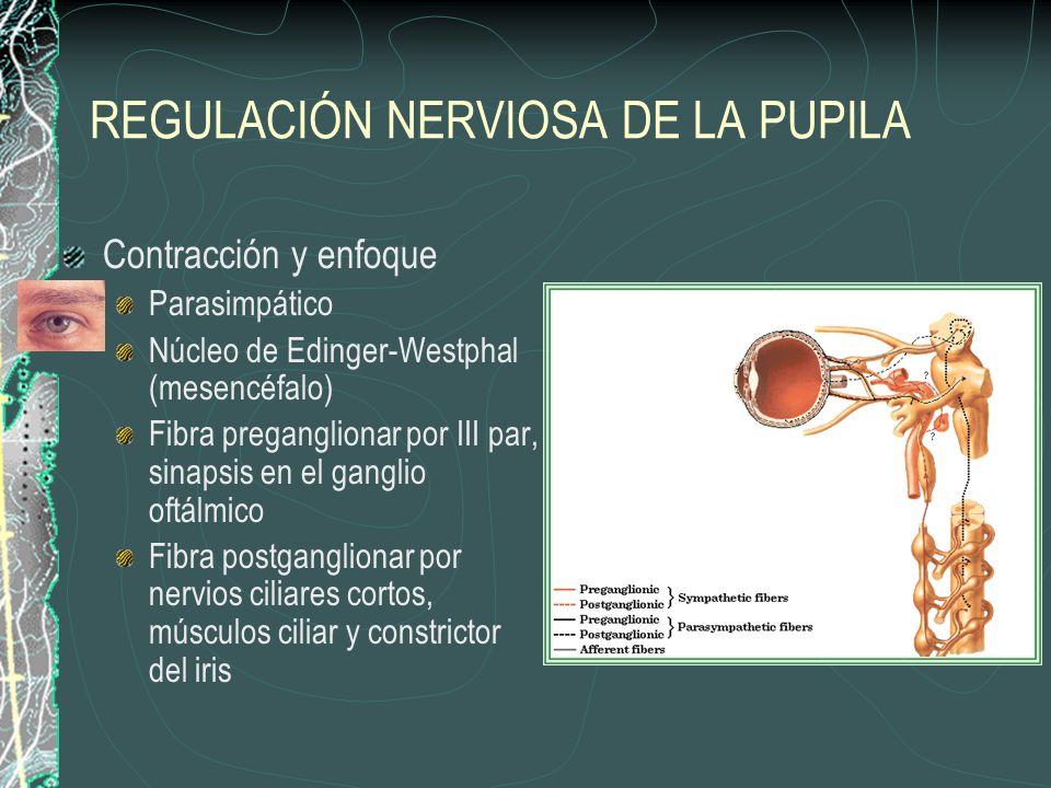 REGULACIÓN NERVIOSA DE LA PUPILA Contracción y enfoque Parasimpático Núcleo de Edinger-Westphal (mesencéfalo) Fibra preganglionar por III par, sinapsis en el ganglio oftálmico Fibra postganglionar por nervios ciliares cortos, músculos ciliar y constrictor del iris