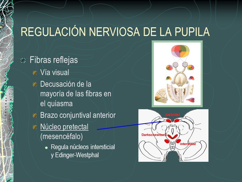 REGULACIÓN NERVIOSA DE LA PUPILA Fibras reflejas Vía visual Decusación de la mayoría de las fibras en el quiasma Brazo conjuntival anterior Núcleo pre