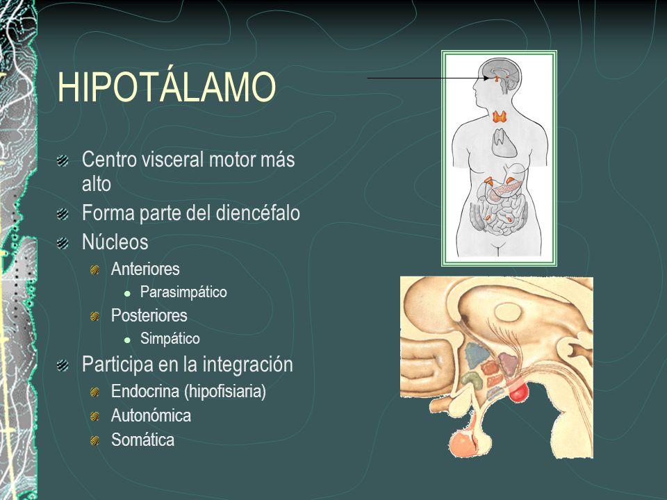 HIPOTÁLAMO Centro visceral motor más alto Forma parte del diencéfalo Núcleos Anteriores Parasimpático Posteriores Simpático Participa en la integración Endocrina (hipofisiaria) Autonómica Somática