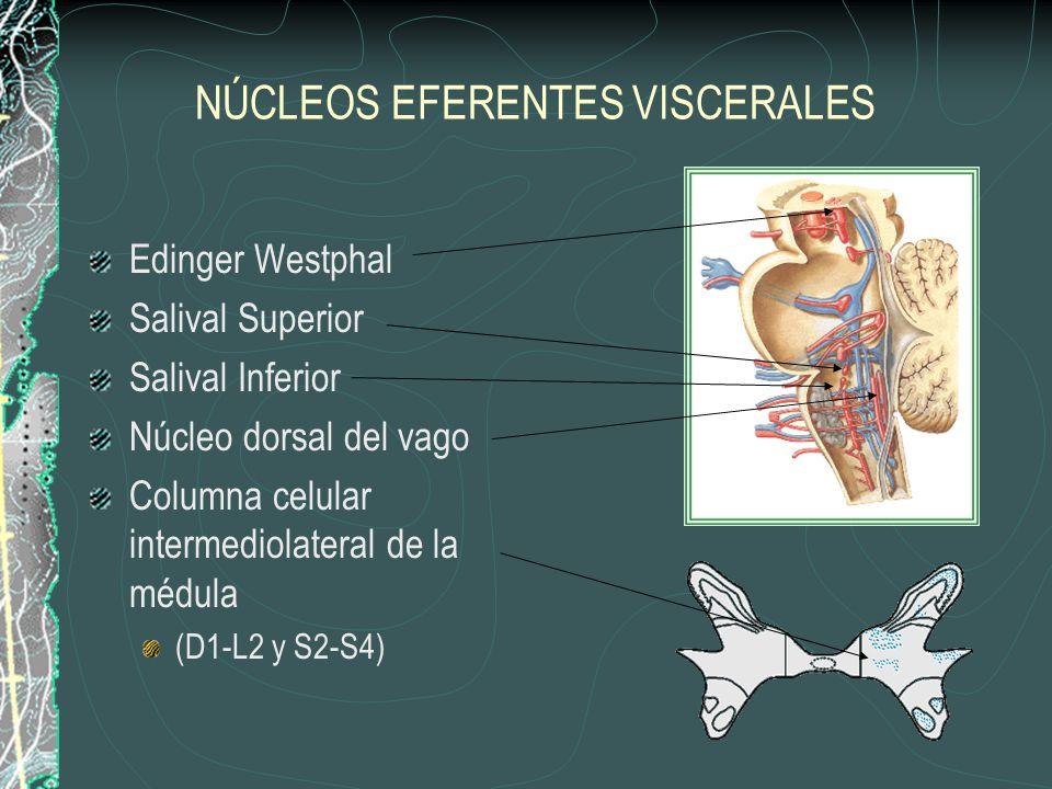 NÚCLEOS EFERENTES VISCERALES Edinger Westphal Salival Superior Salival Inferior Núcleo dorsal del vago Columna celular intermediolateral de la médula