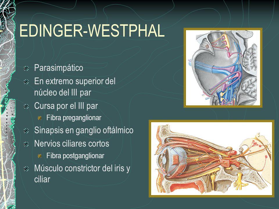 EDINGER-WESTPHAL Parasimpático En extremo superior del núcleo del III par Cursa por el III par Fibra preganglionar Sinapsis en ganglio oftálmico Nervios ciliares cortos Fibra postganglionar Músculo constrictor del iris y ciliar