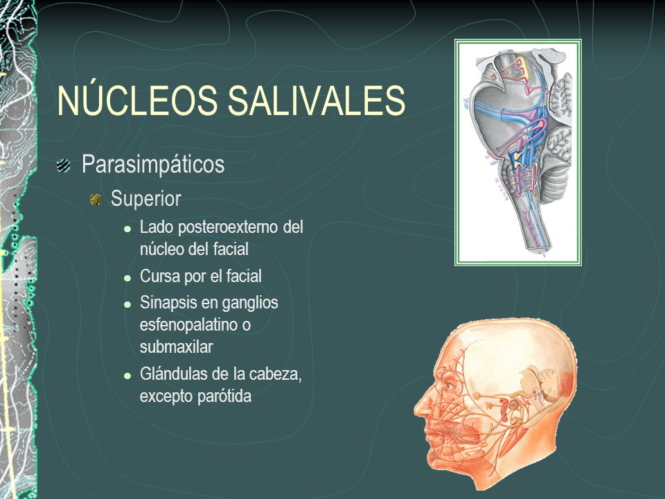 NÚCLEOS SALIVALES Parasimpáticos Superior Lado posteroexterno del núcleo del facial Cursa por el facial Sinapsis en ganglios esfenopalatino o submaxil