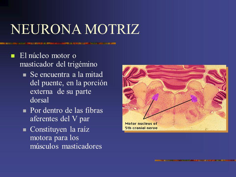 NEURONA MOTRIZ El núcleo motor o masticador del trigémino Se encuentra a la mitad del puente, en la porción externa de su parte dorsal Por dentro de l