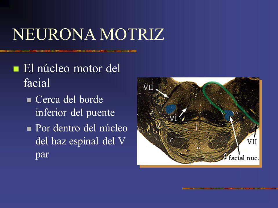 NEURONA MOTRIZ El núcleo motor del facial Cerca del borde inferior del puente Por dentro del núcleo del haz espinal del V par