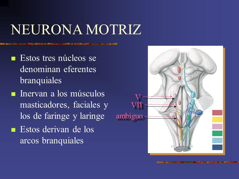 NEURONA MOTRIZ Estos tres núcleos se denominan eferentes branquiales Inervan a los músculos masticadores, faciales y los de faringe y laringe Estos de