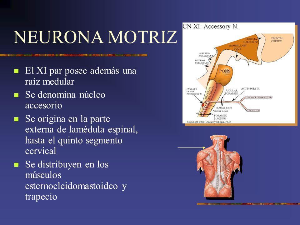 NEURONA MOTRIZ El XI par posee además una raíz medular Se denomina núcleo accesorio Se origina en la parte externa de lamédula espinal, hasta el quint