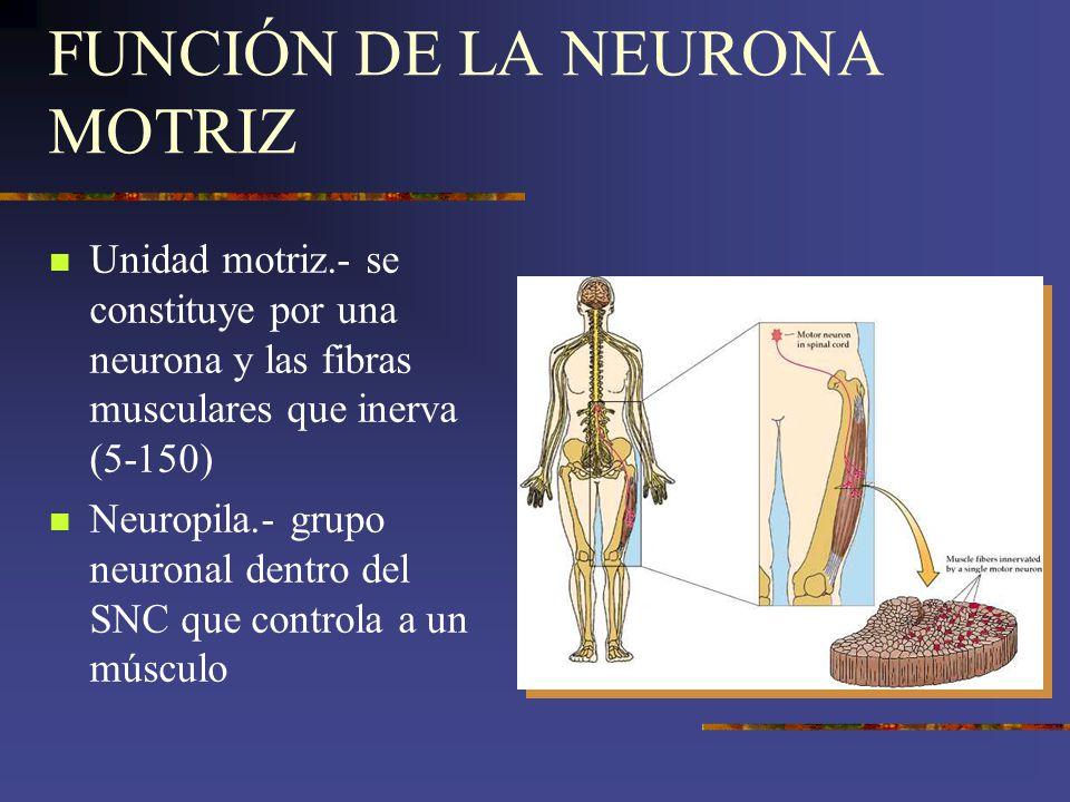 FUNCIÓN DE LA NEURONA MOTRIZ Unidad motriz.- se constituye por una neurona y las fibras musculares que inerva (5-150) Neuropila.- grupo neuronal dentr