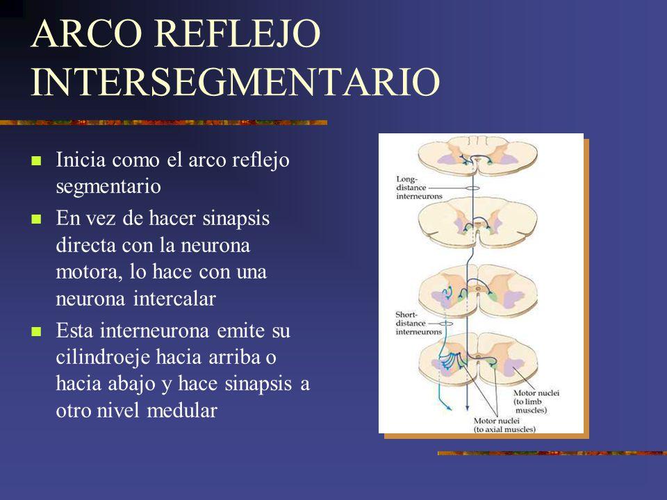 ARCO REFLEJO INTERSEGMENTARIO Inicia como el arco reflejo segmentario En vez de hacer sinapsis directa con la neurona motora, lo hace con una neurona