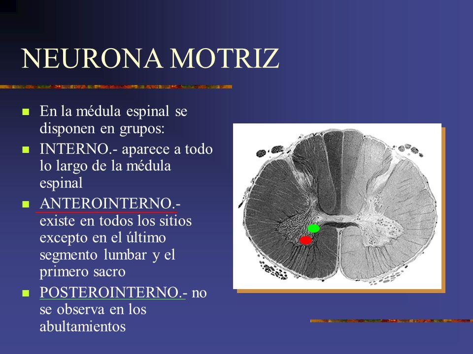 NEURONA MOTRIZ En la médula espinal se disponen en grupos: INTERNO.- aparece a todo lo largo de la médula espinal ANTEROINTERNO.- existe en todos los