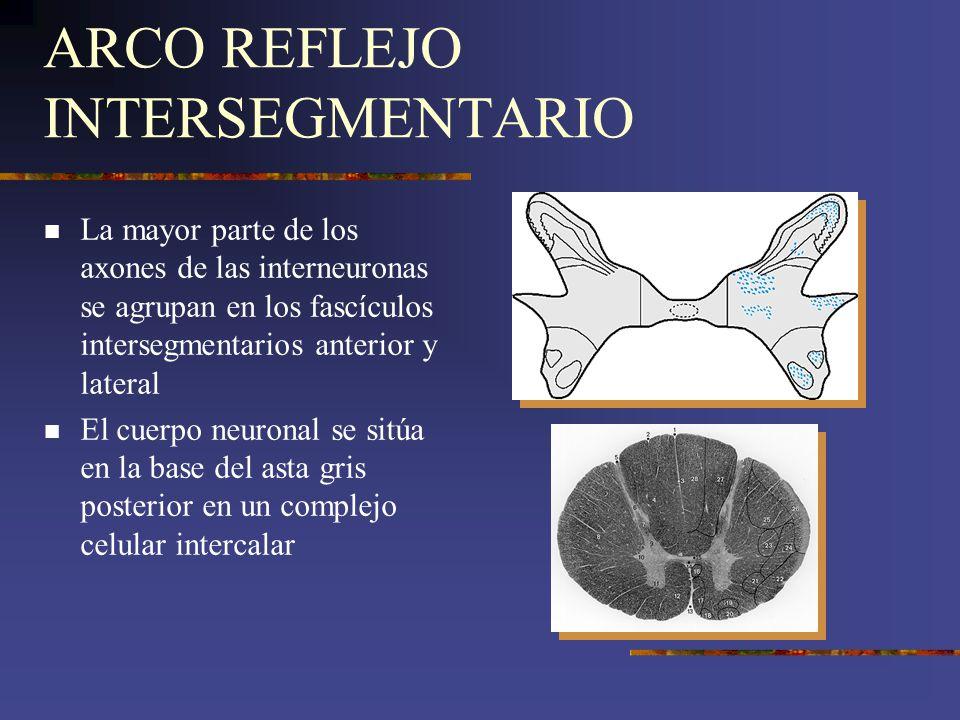 ARCO REFLEJO INTERSEGMENTARIO La mayor parte de los axones de las interneuronas se agrupan en los fascículos intersegmentarios anterior y lateral El c